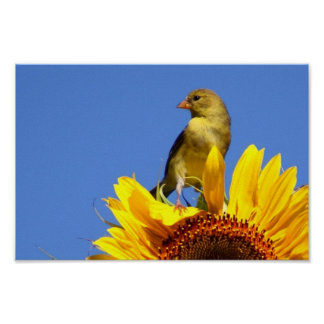 American Goldfinch on Sunflower Posters