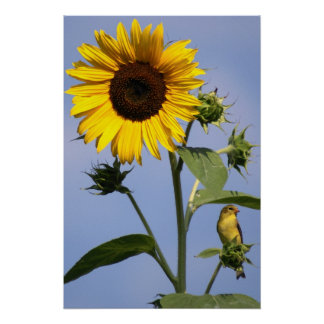 American Goldfinch on Sunflower Print