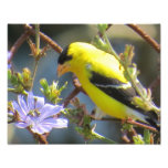 American Goldfinch Photo Print