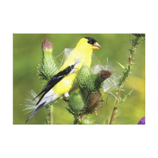 American Goldfinch Photograph Wrapped Canvas