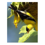 American Goldfinch Post Cards