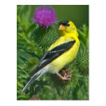 American Goldfinch Postcards