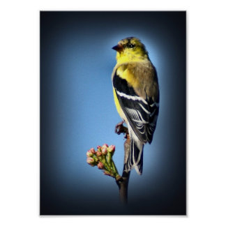 American Goldfinch Posters