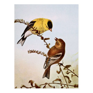 American Goldfinchs Bird Illustration Postcard