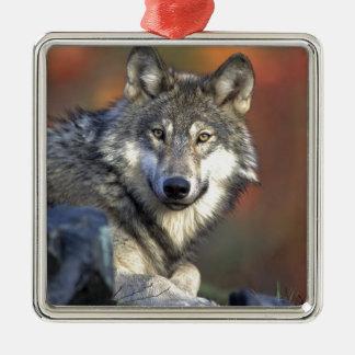 American gray wolf square metal christmas ornament
