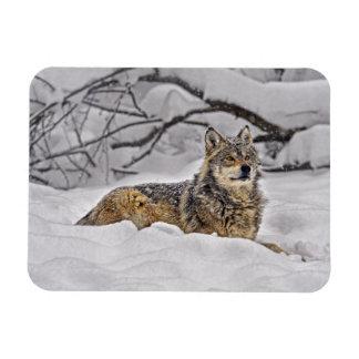 American Grey Wolf Rectangular Photo Magnet
