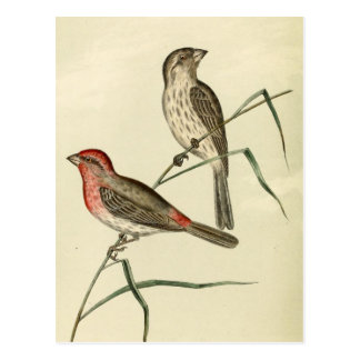 American House Finch Postcard
