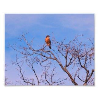American Kestrel Hawk Photo Print