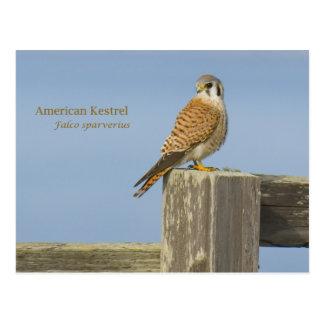 American Kestrel Postcard