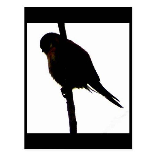 American Kestrel silhouette Postcard