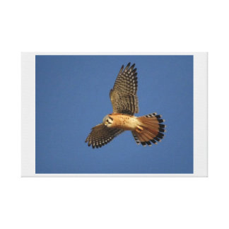American Kestrel, Wrapped Canvas, Single Canvas Print