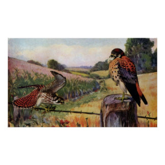 American Kestrels on a Barbed Wire Fence Poster
