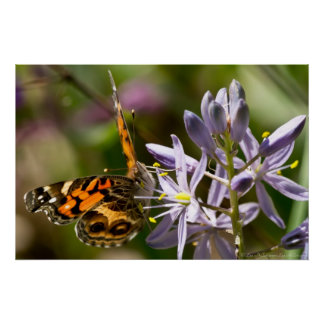 American Lady Butterfly Wild Hyacinth Poster