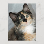 American Longhair Calico Kitten Postcards