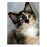 American Longhair Calico Kitten Postcards