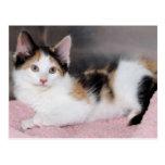 American Mediumhair Calico Kitten Postcards