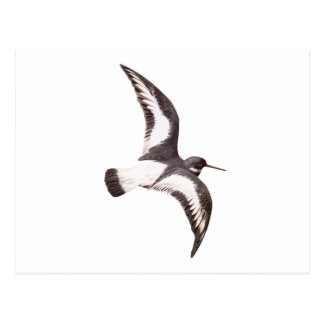 American Oystercatcher Shore Bird Postcard
