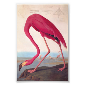 American Pink Flamingo Audubon Vintage Bookplate Photo Print