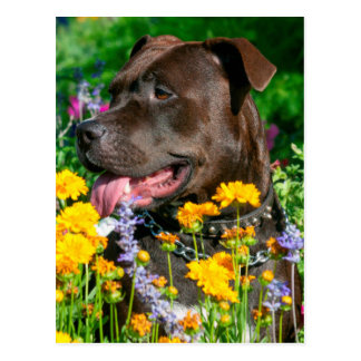 American Pit Bull in field of flowers Postcard