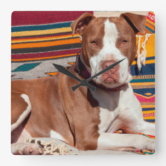 American Pit Bull lying on blankets Square Wall Clock