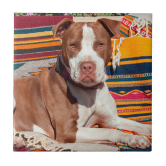 American Pit Bull lying on blankets Tile
