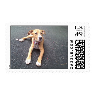 AMERICAN PIT BULL MIXED BREED Postage