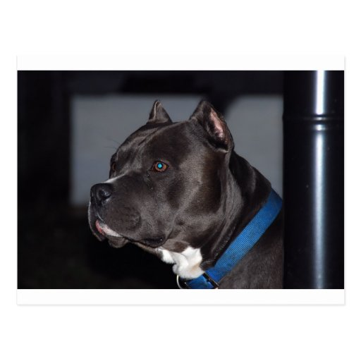 American Pit Bull Terrier Post Card