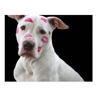 american pit bull terrier with kisses postcard