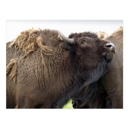 American Plains Buffalo Bison Postcards