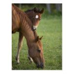 American Quarter horse mare and colt in field at Post Card