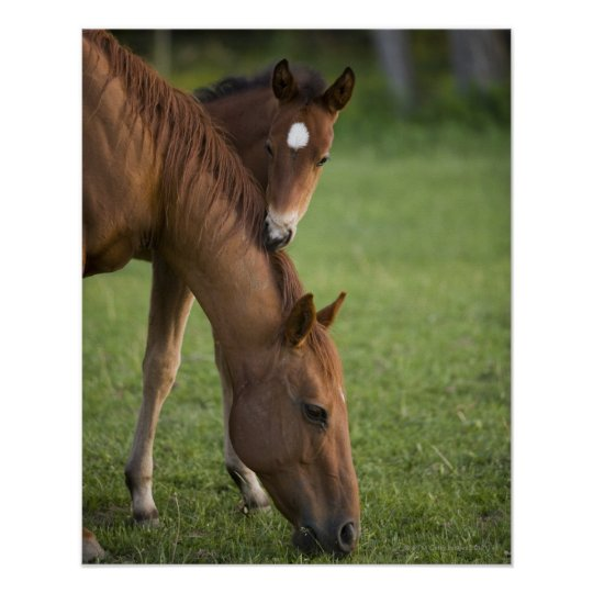 American Quarter horse mare and colt in field at Poster