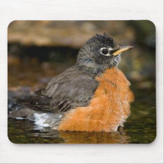 American Robin bathing 2 Mouse Pad