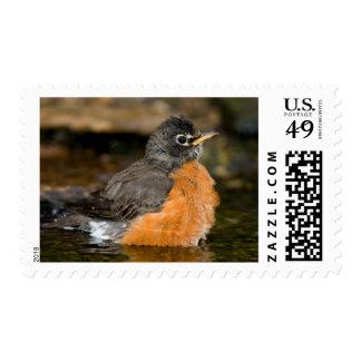 American Robin bathing 2 Stamp
