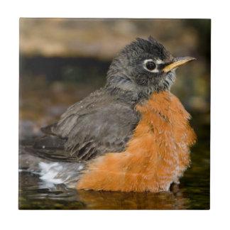 American Robin bathing 2 Tile