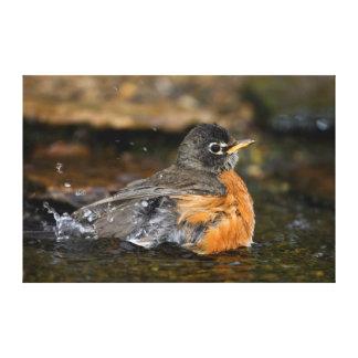 American Robin bathing Canvas Print