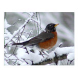 American Robin Bird Postcard