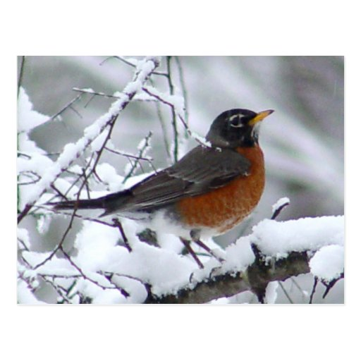 robin bird gifts t shirts art posters other gift