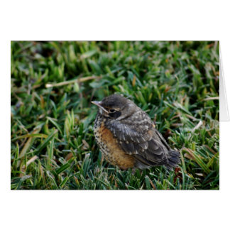 American Robin Chick Card