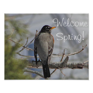 American robin photo poster