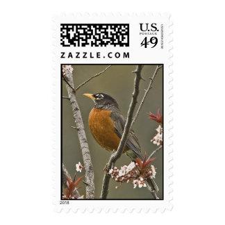 American Robin Postage