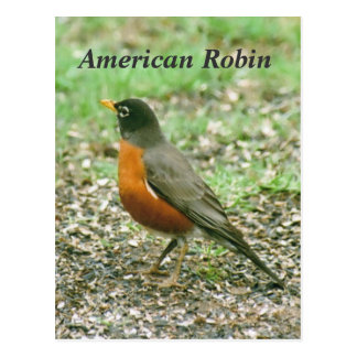 American Robin Postcard