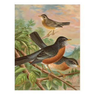 American Robin Vintage Bird Illustration Postcard