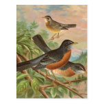 American Robin Vintage Bird Illustration Postcards