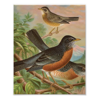 American Robin Vintage Bird Illustration Poster
