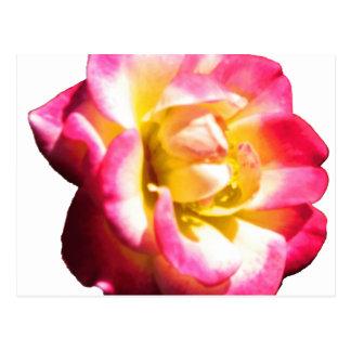 American Rose Society Miniature 038 Postcard