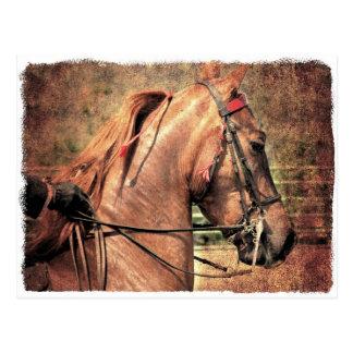 American Saddlebred Post Card