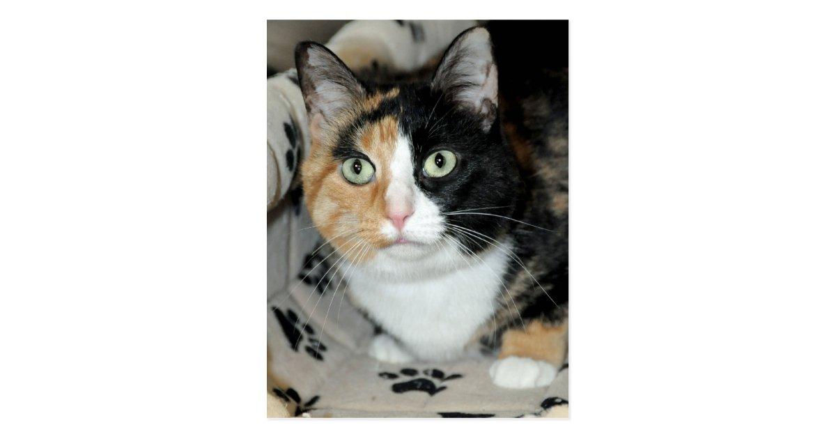 American Shorthair Calico Shelter Cat Postcards Zazzle Com