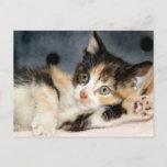 American Shorthair Calico Shelter Kitten Postcards