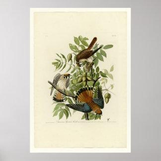 American Sparrow Hawk Poster