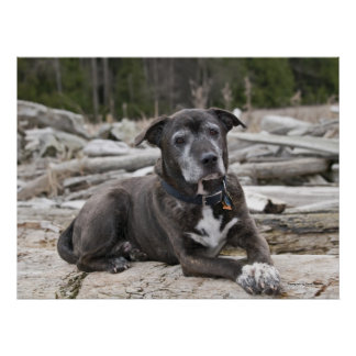 American Staffordshire Terrier - Fine Art Print